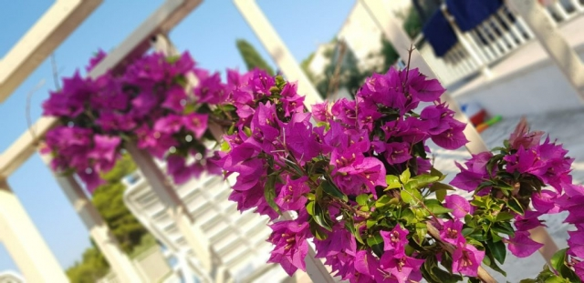 Beautiful flowers near swimming pool of the Villa Vjeka